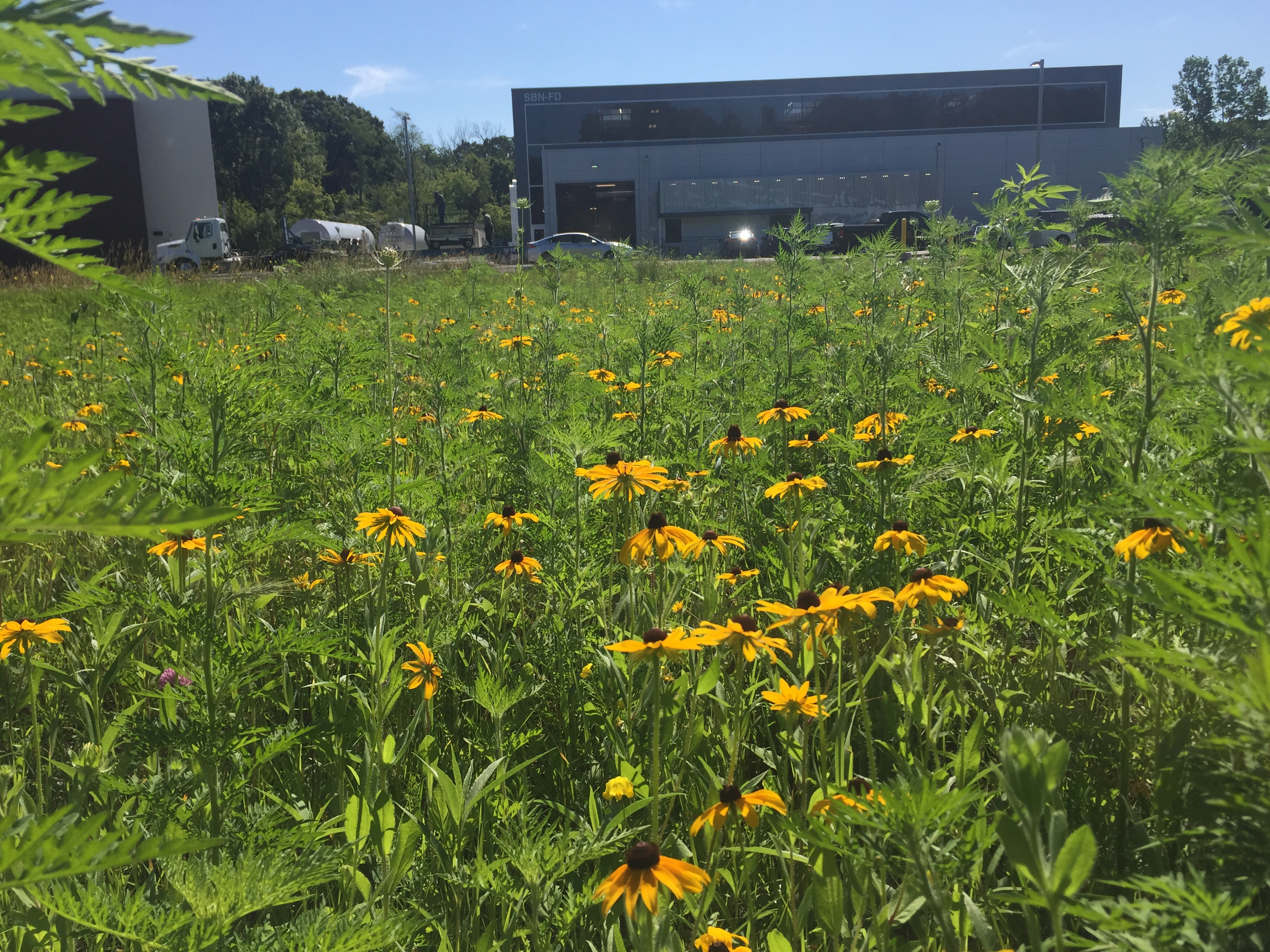 nature, plant, flower, black-eyed susan, building