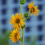 nature, plant, flower, compass plant, Wilson Hall, building