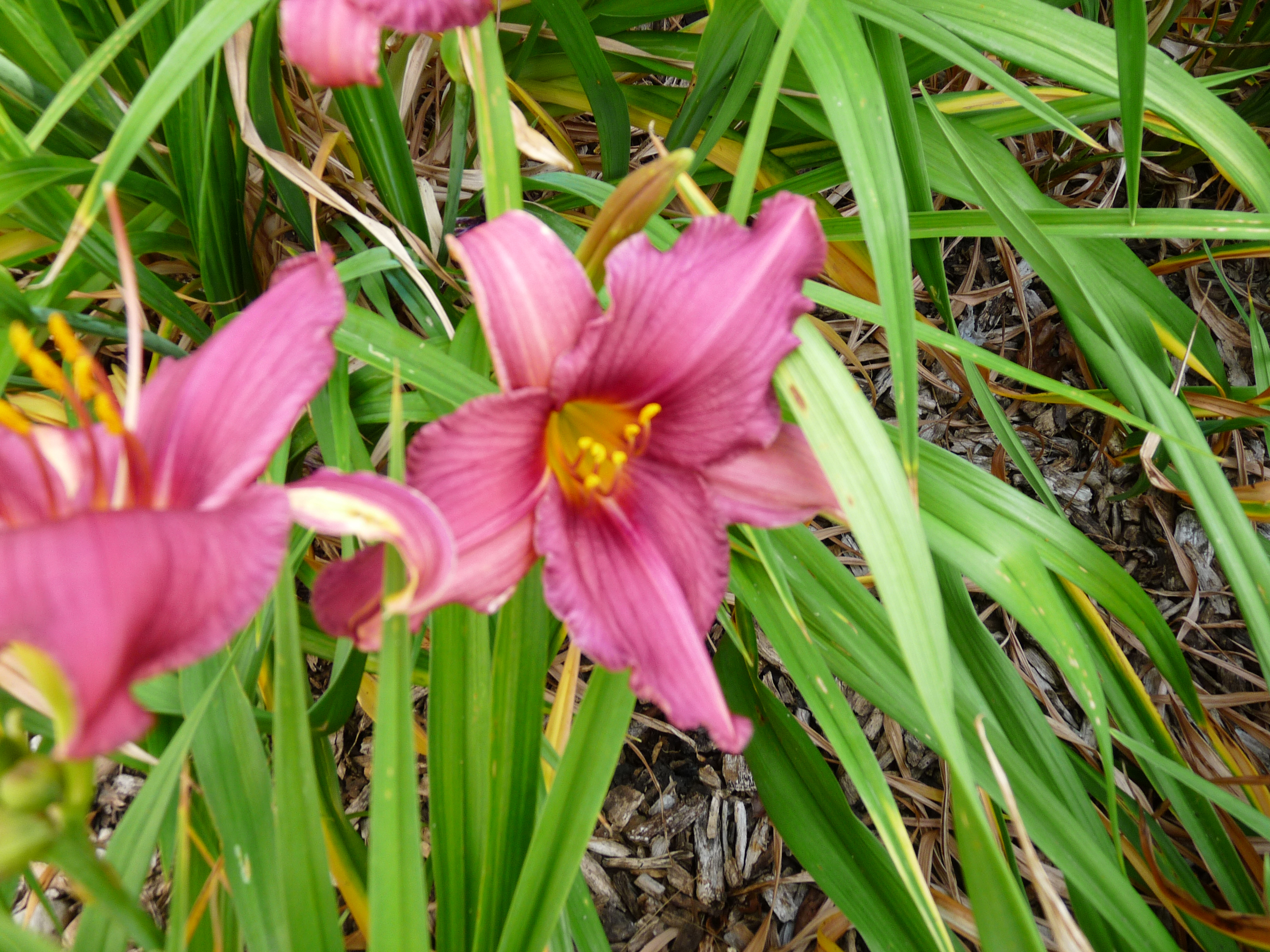nature, flower, plant, lily