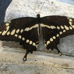 nature, insect, butterfly, black swallowtail butterfly, animal, wildlife