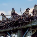 """Osprey Chicks"" by Timothy Chapman"