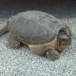 nature, wildlife, turtle, snapping turtle, reptile, turtle on asphalt, animal