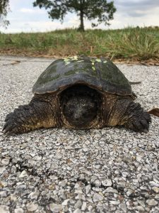snapping turtle, turtle, animal, wildlife, nature, reptile