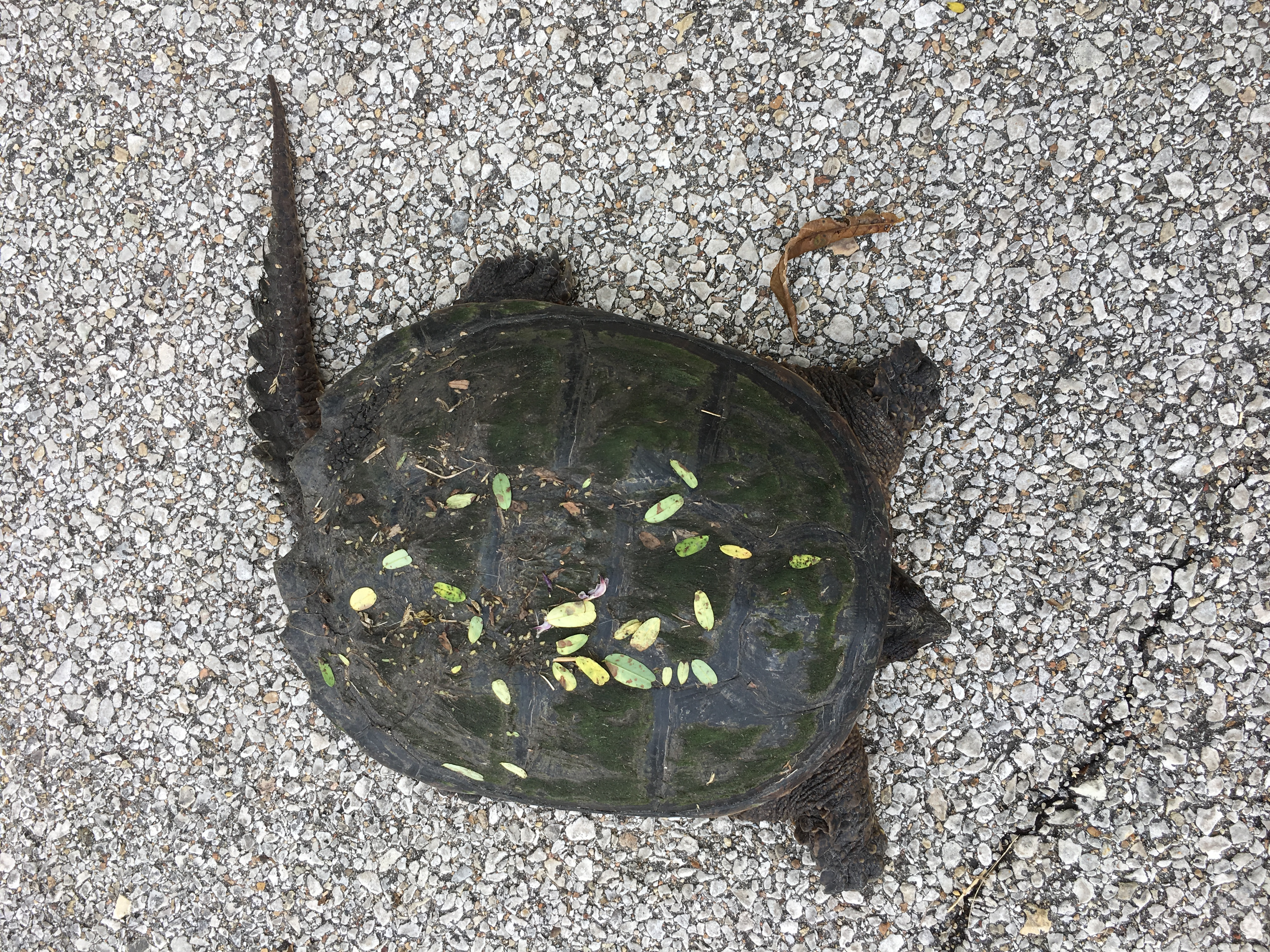 snapping turtle, animal, reptile, turtle, nature, wildlife