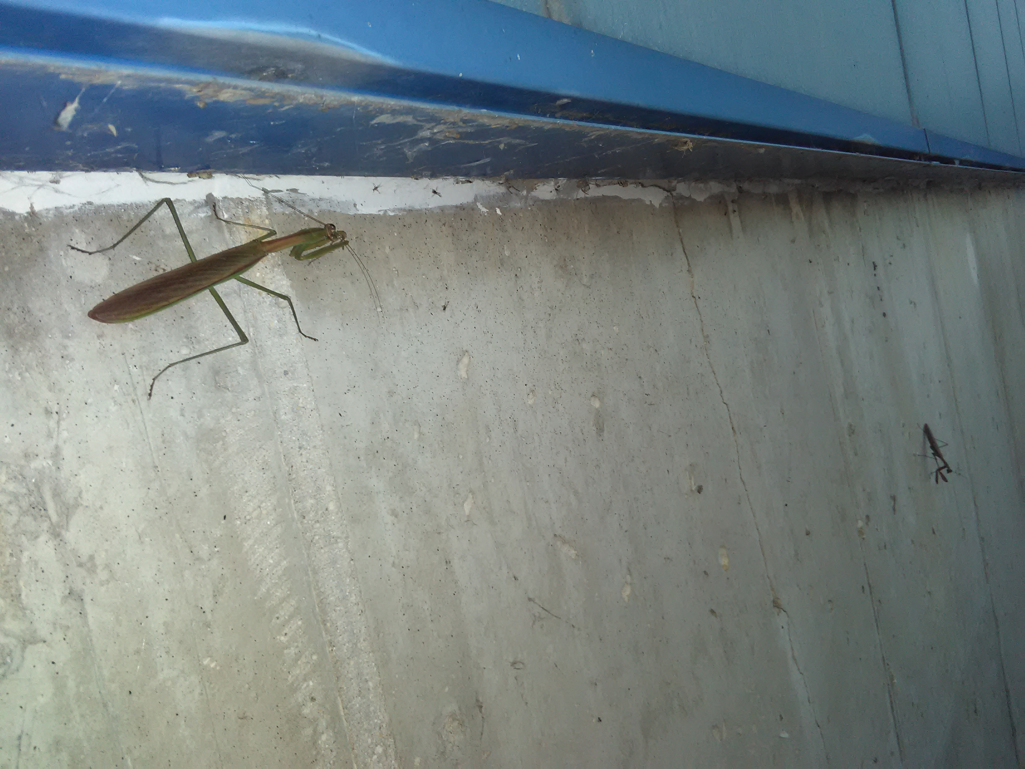 nature, wildlife, animal, bug, insect, praying mantis, praying mantis eats a spider
