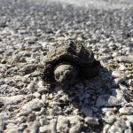nature, wildlife, animal, reptile, turtle, baby turtle