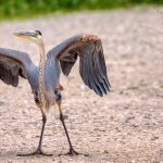 """Heron on Outer Ring Road"" by Timothy Chapman"