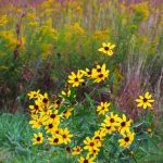 nature, plant, flower, tall coreopsis