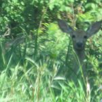 nature, wildlife, animal, deer, woods, mammal, deer in the woods