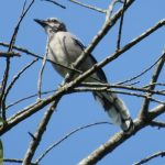 blue jay on a branch, nature, wildlife, animal, bird, blue jay, tree