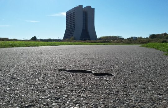 wildlife, nature, animal, reptile, snake, Wilson Hall, building, A snake tans itself on the pedestrian path to Wilson Hall.