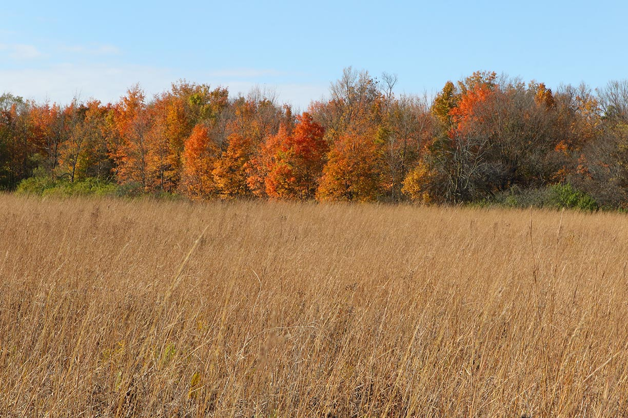 As you look west from the prairie on the north side of Pine Street, you get a view of this lovely October tree line. Photo: Gordon Garcia, nature, landscape, fall, autumn, sky, plant, tree, grass, woods