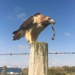 hawk eats snake, wildlife, nature, animal, reptile, bird, red-tailed hawk, hawk, snake
