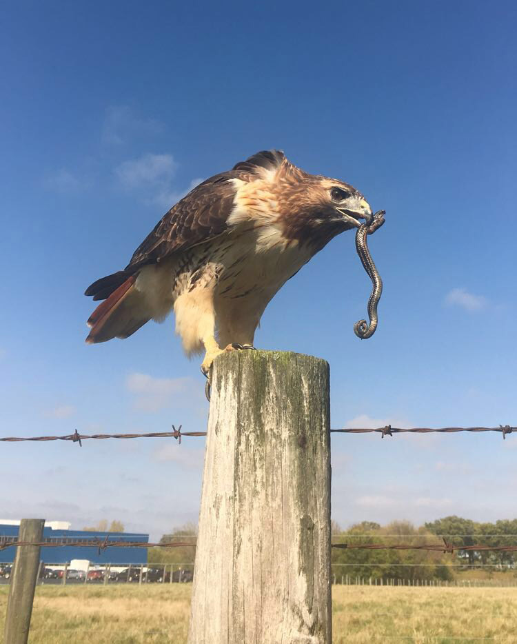 hawk eats a snake on friday the 13th