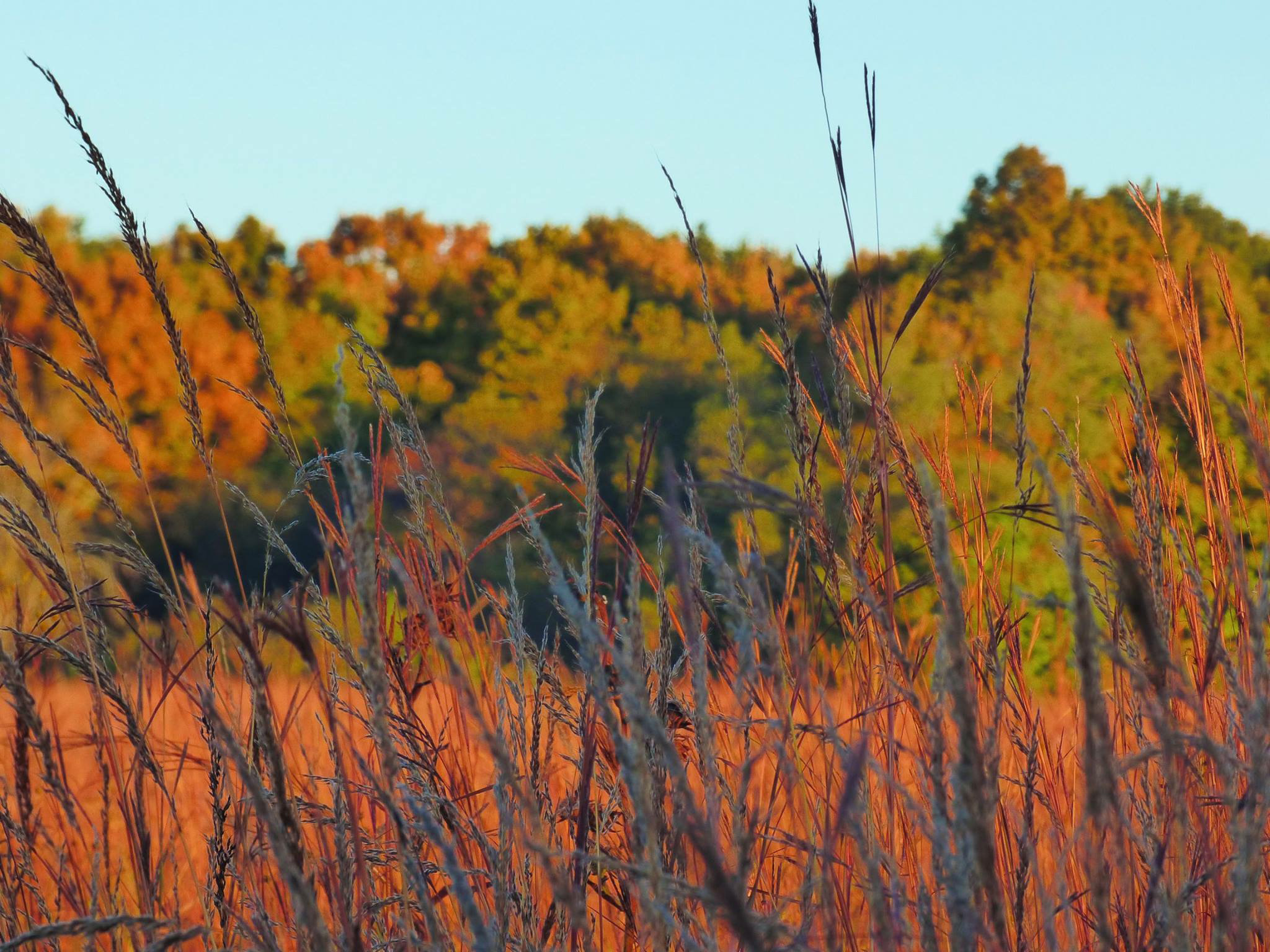 landscape, nature, tallgrass prairie, grass, plant, tree, big bluestem grass