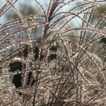 A light frost sparkles on ornamental grass at the BEG building. Photo: Barb Kristen, dew, grass, nature, plant, prairie