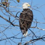 A bald eagle surveys the scene at Fermilab. Photo: Barb Kristen, nature, wildlife, animal, bird, eagle, tree, plant
