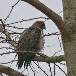 Pray tell, hawk: On what will you prey today? Photo: Barb Kristen, nature, wildlife, animal, bird, hawk, tree, plant