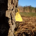 A clouded sulphur butterfly appreciates the sun's warming rays on this 26-degree Fahrenheit morning. Photo: Jeff Simmons. wildlife, animal, nature, butterfly, insect, clouded sulphur butterfly