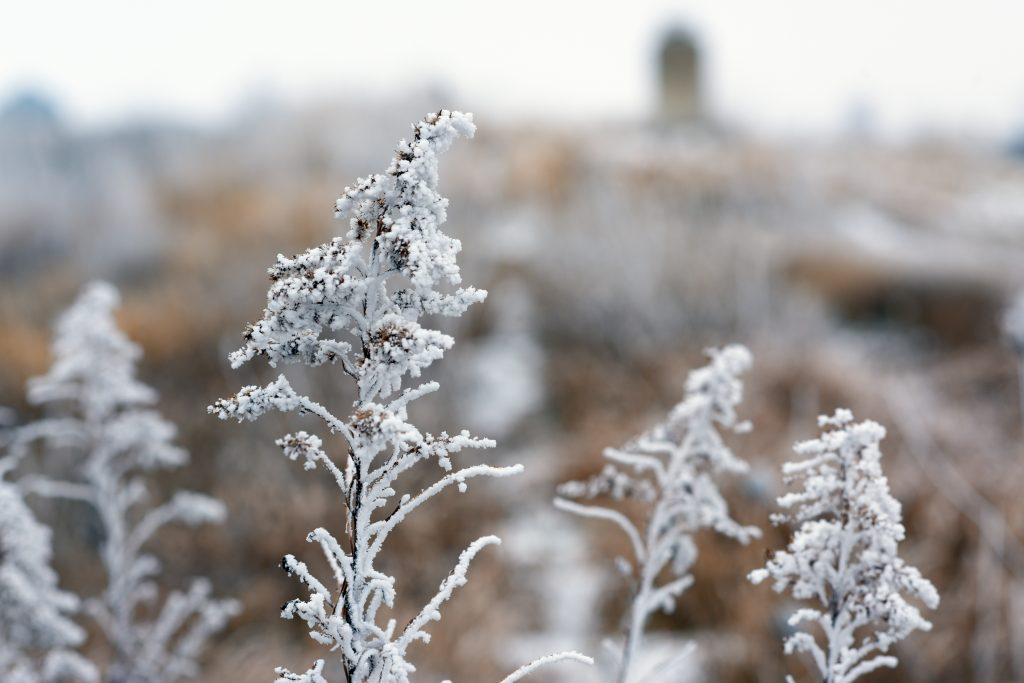 (1 of 3) Frosty weeds ... Photo: Leticia Shaddix, nature, plant, frost, winter, weed
