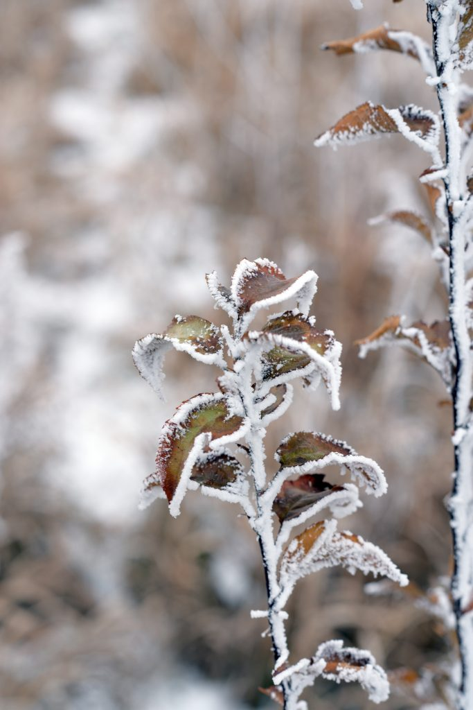 (3 of 3) ... even though we know how hardy they are. Photo: Leticia Shaddix, nature, plant, frost, winter, weed