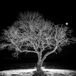 nature, The photographer's favorite tree on the Fermilab site looks lovely on New Year's Eve 2017. Photo: Tom Nicol, nature, plant, tree, night, winter