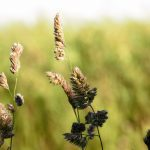 Flashback to spring 2017: Orchard grass sways in the breeze. Photo: Leticia Shaddix, nature, plant, grass, spring, orchard grass