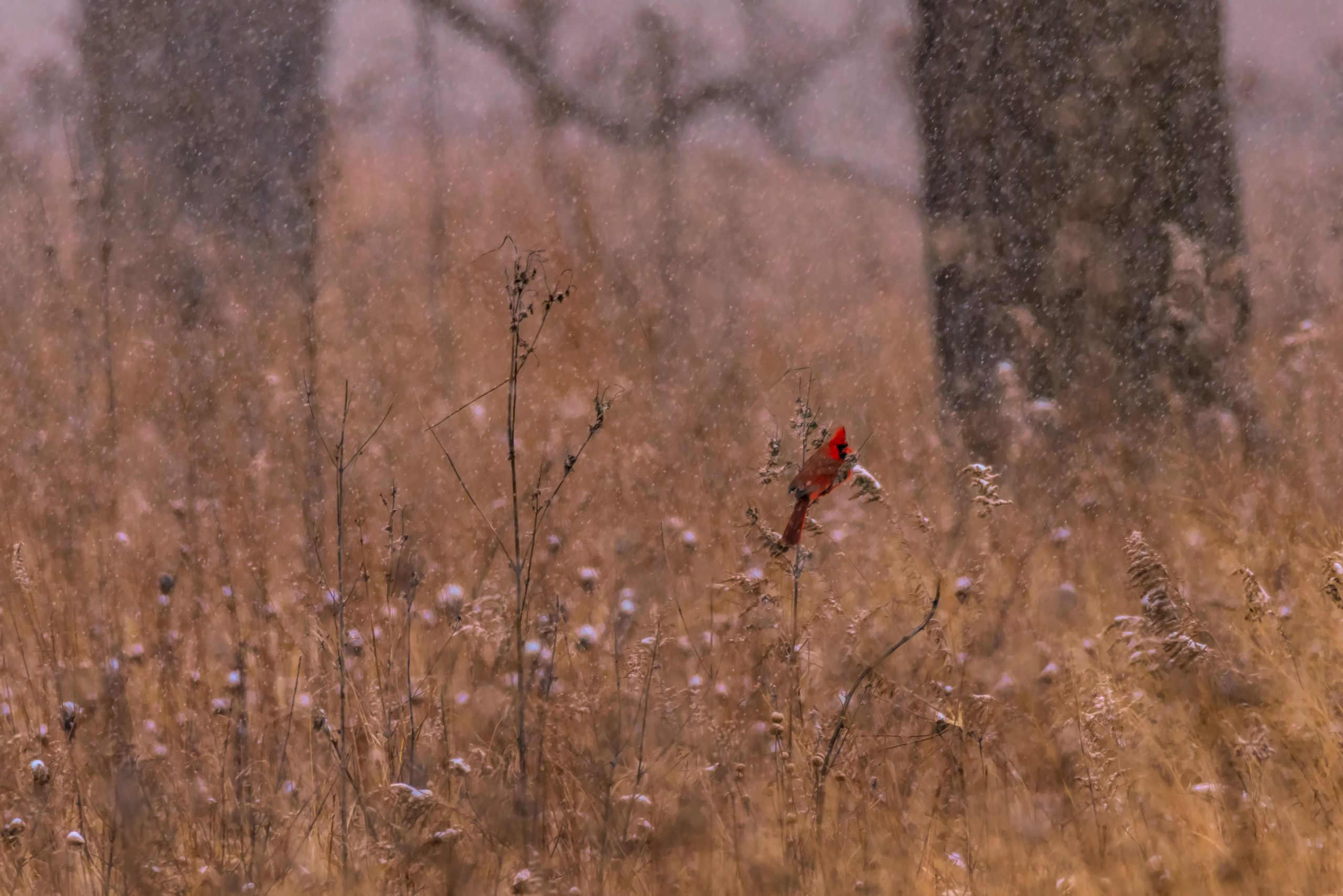 In late 2017, a cardinal alights on a plant in Betz Prairie. Photo: Tim Chapman, nature, wildlife, animal, bird, cardinal, prairie, winter