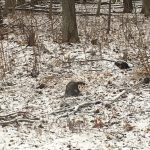 A little opossum stops by the woods on a snowy evening. Photo: Nino Chelidze, nature, wildlife, mammal, animal, opossum, woods, snow, winter