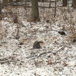 A little opossum stops by the woods on a snowy evening. Photo: Nino Chelidze, nature, wildlife, mammal, animal, opossum, woods, snow, winter