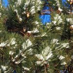 (1 of 2) Snow nestles itself in the needles of an evergreen. Photo: Amy Scroggins, nature, tree, winter, snow, plant