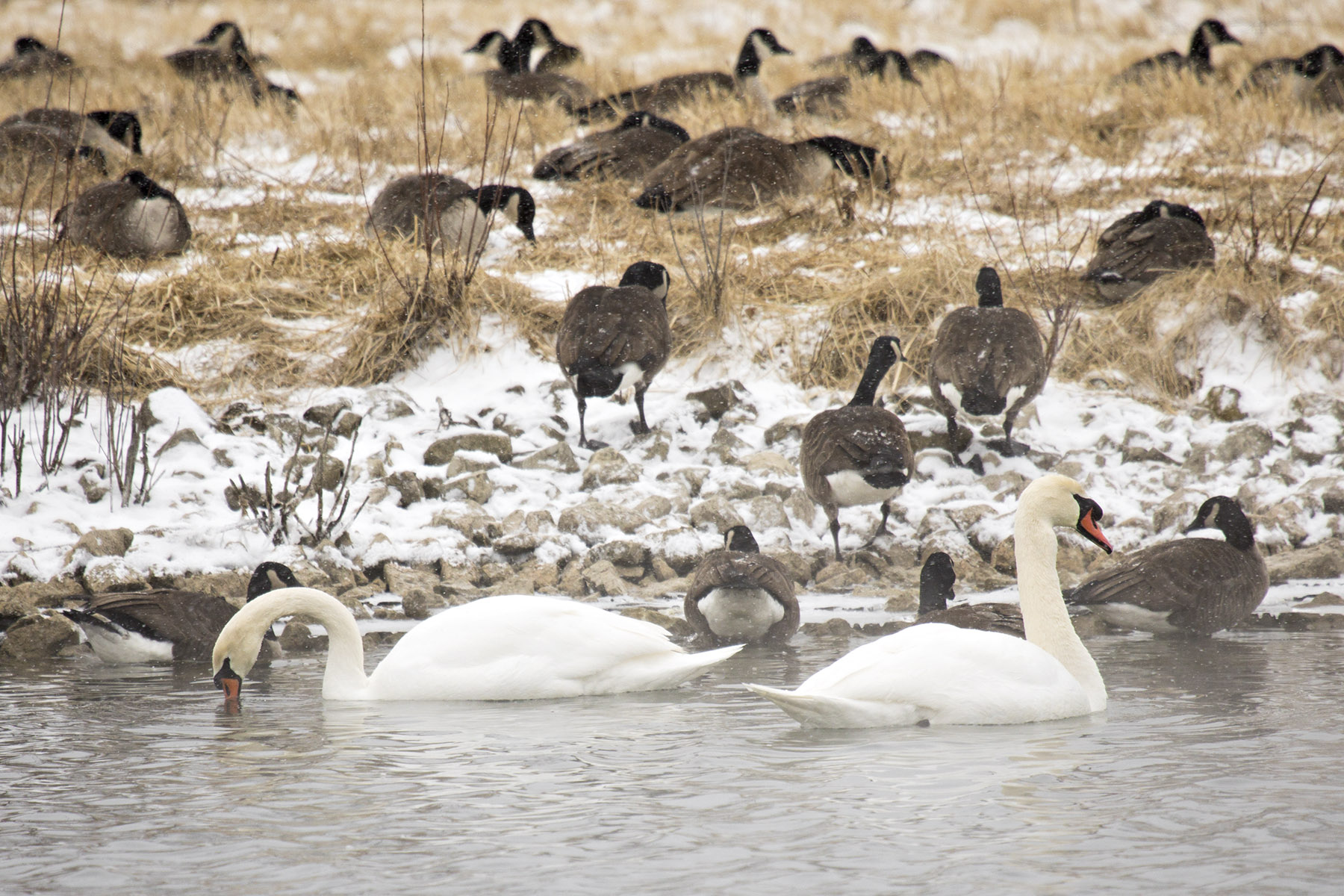 A pair of mute swans grace a Main Injector pond at the start of the snow storm on Feb. 5. Photo: Marty Murphy, nature, wildlife, animal, bird, swan, pond, winter, water, snow