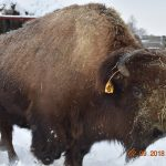 (2/2) Bison number 41 enjoys time in the snow with other herd members. Photo: Prabhjot Singh, animal, mammal, bison, snow