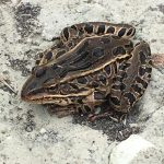 (2/2) ... and this leopard frog. Photo: Christine Ader, nature, wildlife, frog, leopard frog, animal
