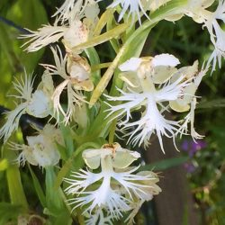The flowers of the eastern prairie fringed orchid are highly symmetrical, not unlike much of the physics that Fermilab scientists study. Photo: Ryan Campbell