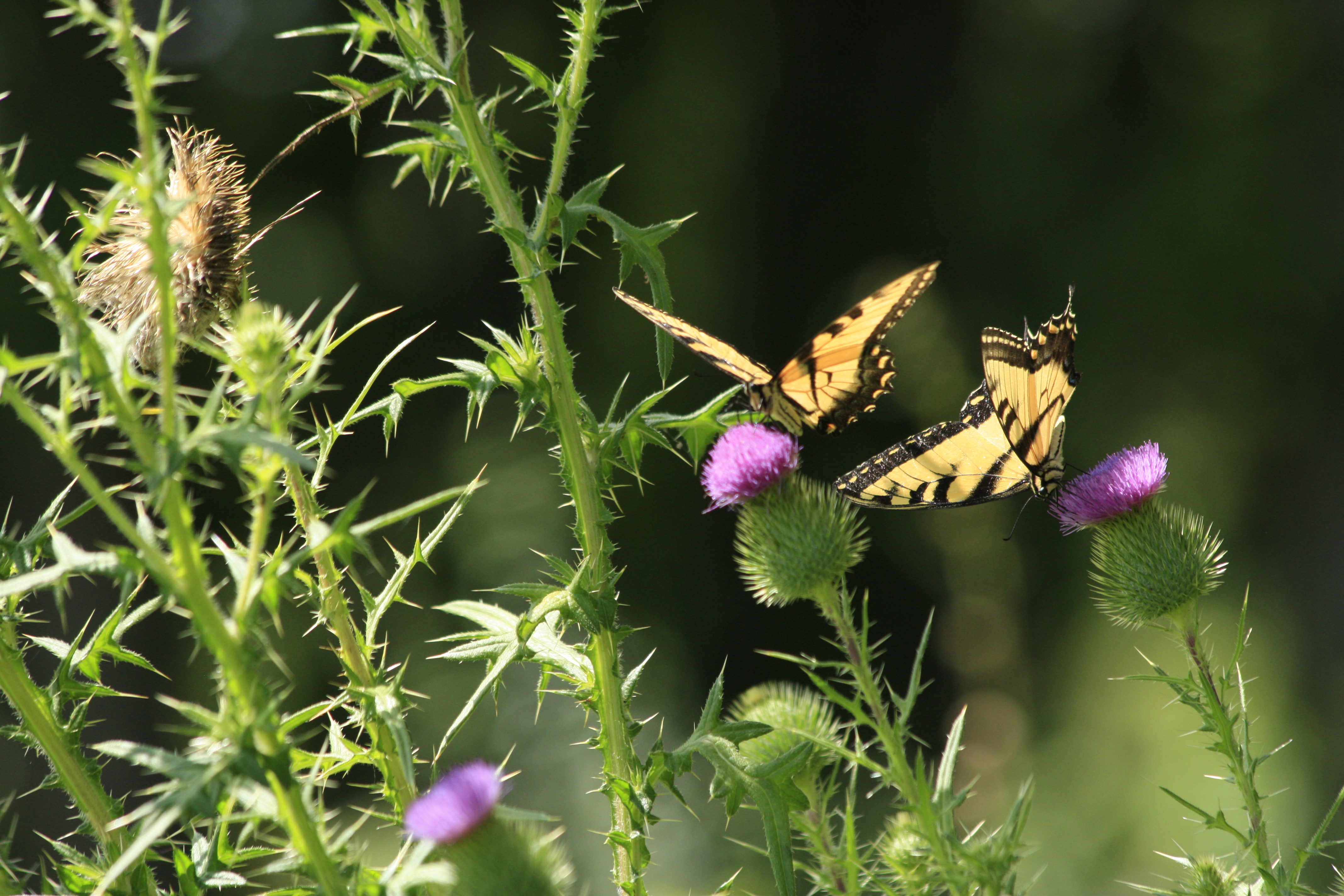 (2/2) These 2011 photos remind us what we might be able to capture on camera this summer. Photo: Leticia Shaddix, nature, wildlife, animal, plant, insect, butterfly, thistle