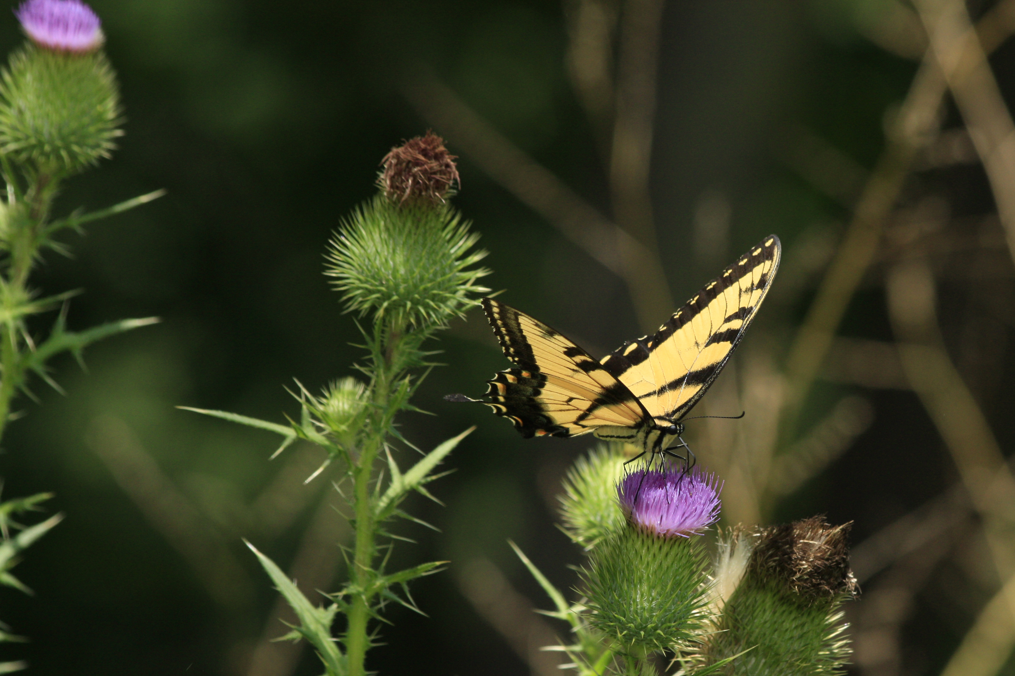 (1/2) A swallowtail butterfly alights on thistle. Photo: Leticia Shaddix, wildlife, animal, nature, insect, butterfly, plant, flower, thistle