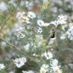 (01/10) A bee alights on annual fleabane. Photo: Leticia Shaddix, nature, wildlife, animal, insect, bee, flower, plant, fleabane