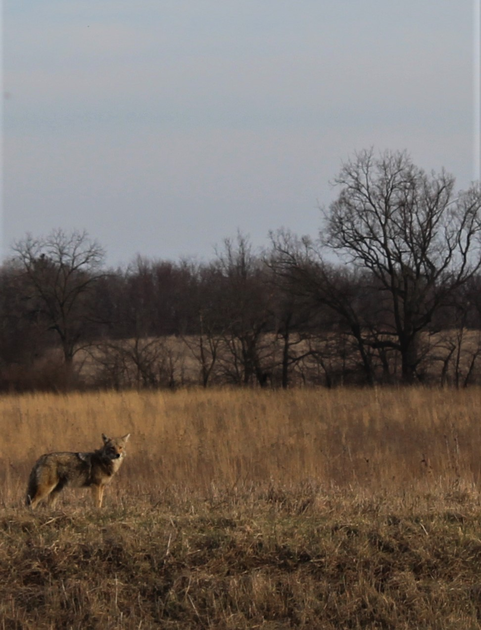 (4/4) The coyote says goodbye. Photo: Zoe Toliopoulos Sherwin, nature, wildlife, animal, mammal, coyote, landscape, prairie, grass, plant