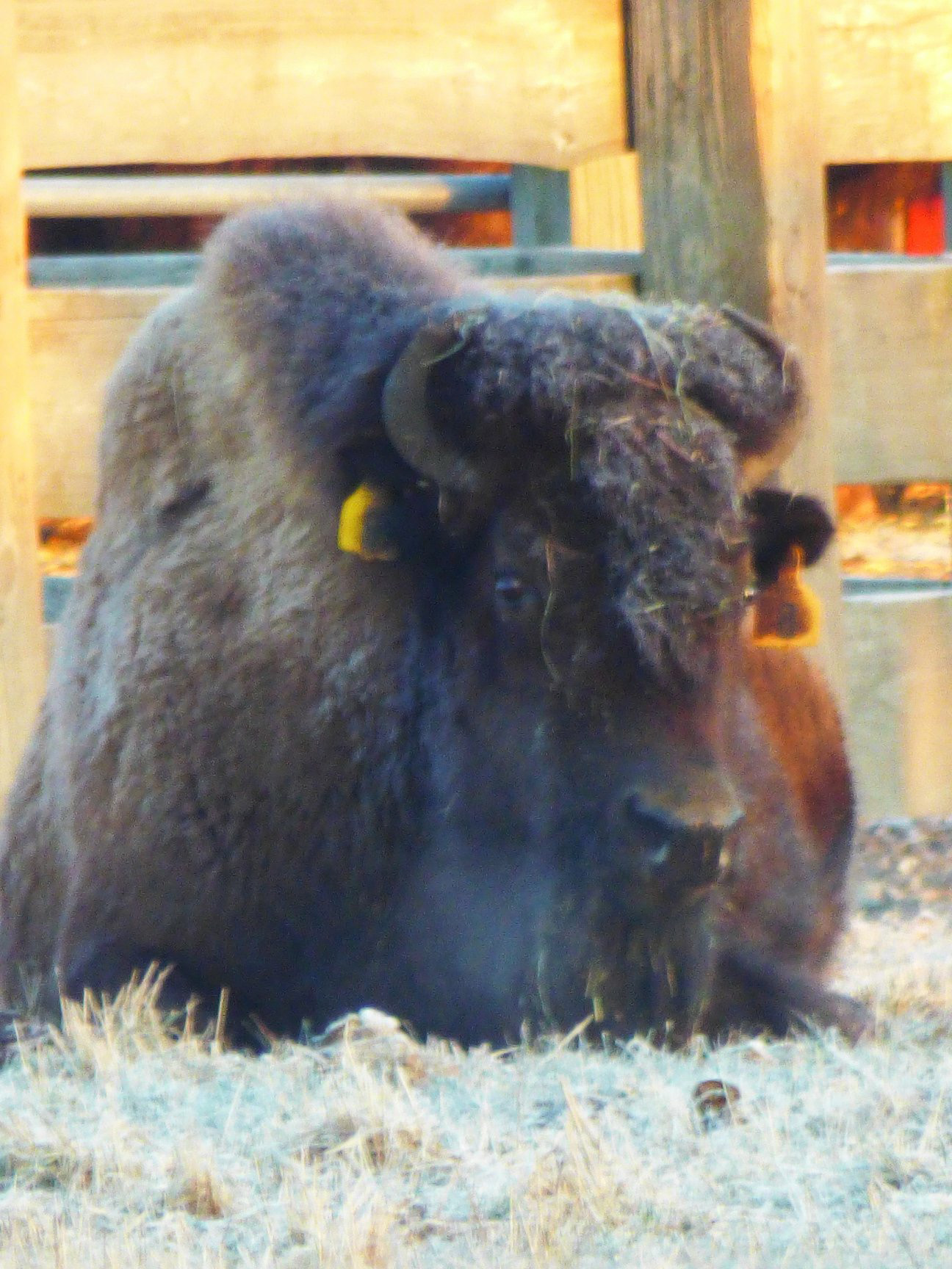(2/2) This bison is fully content being covered in frost. Photo: Amy Scroggins, nature, wildlife, animal, mammal, bison,