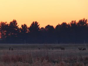 On March 11, the morning daylight saving time began, deer were seen in the morning light, which arrived an hour earlier. nature, wildlife, woods, plant, animal, deer, mammal Photo: Amy Scroggins