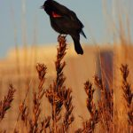 A red-winged blackbird perches on some grass, with Wilson Hall in the background. Photo: Amy Scroggins, nature, bird, wildlife, red-winged blackbird, animal, building, Wilson Hall, grass, plant