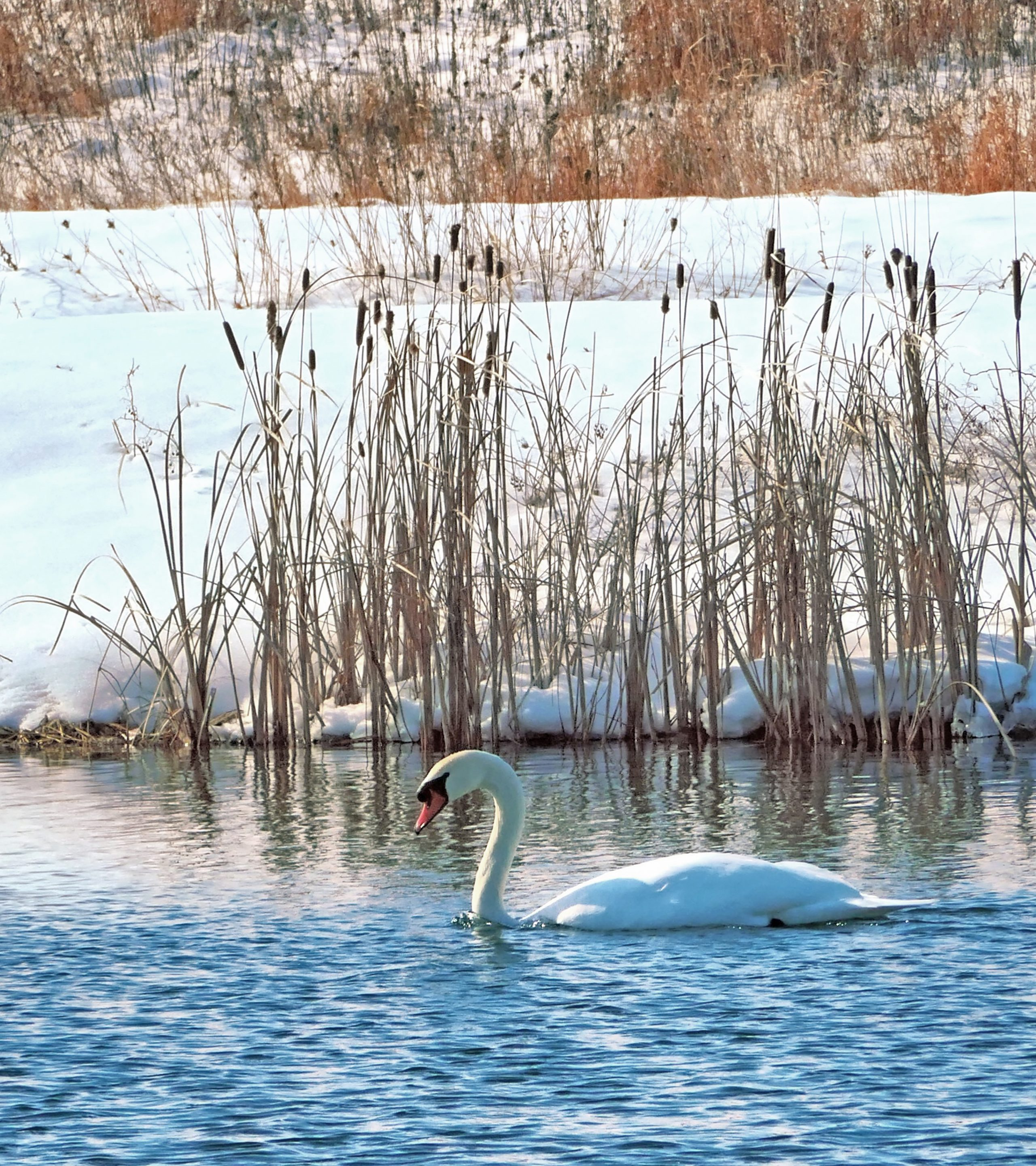 (3/3) This one is particularly blue. Photo: Leticia Shaddix, wildlife, nature, animal, bird, swan, mute swan, winter, snow, pond