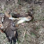 Two mating hawks crashed to the ground. One's talons are embedded in the other's leg. After a period of time the separated and flew off. Photo: Steve Carrigan, wildlife, nature, animal, bird, hawk