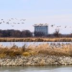 This photo was taken at the end of January of this year. While riding the Main Ring at lunch time, the photographer spotted geese, gulls and ducks congregating in the Main Ring waters. Photo: Leticia Shaddix, nature, wildlife, animal, bird, goose, gull, duck, water, pond, building, Wilson Hall, landscape, sky