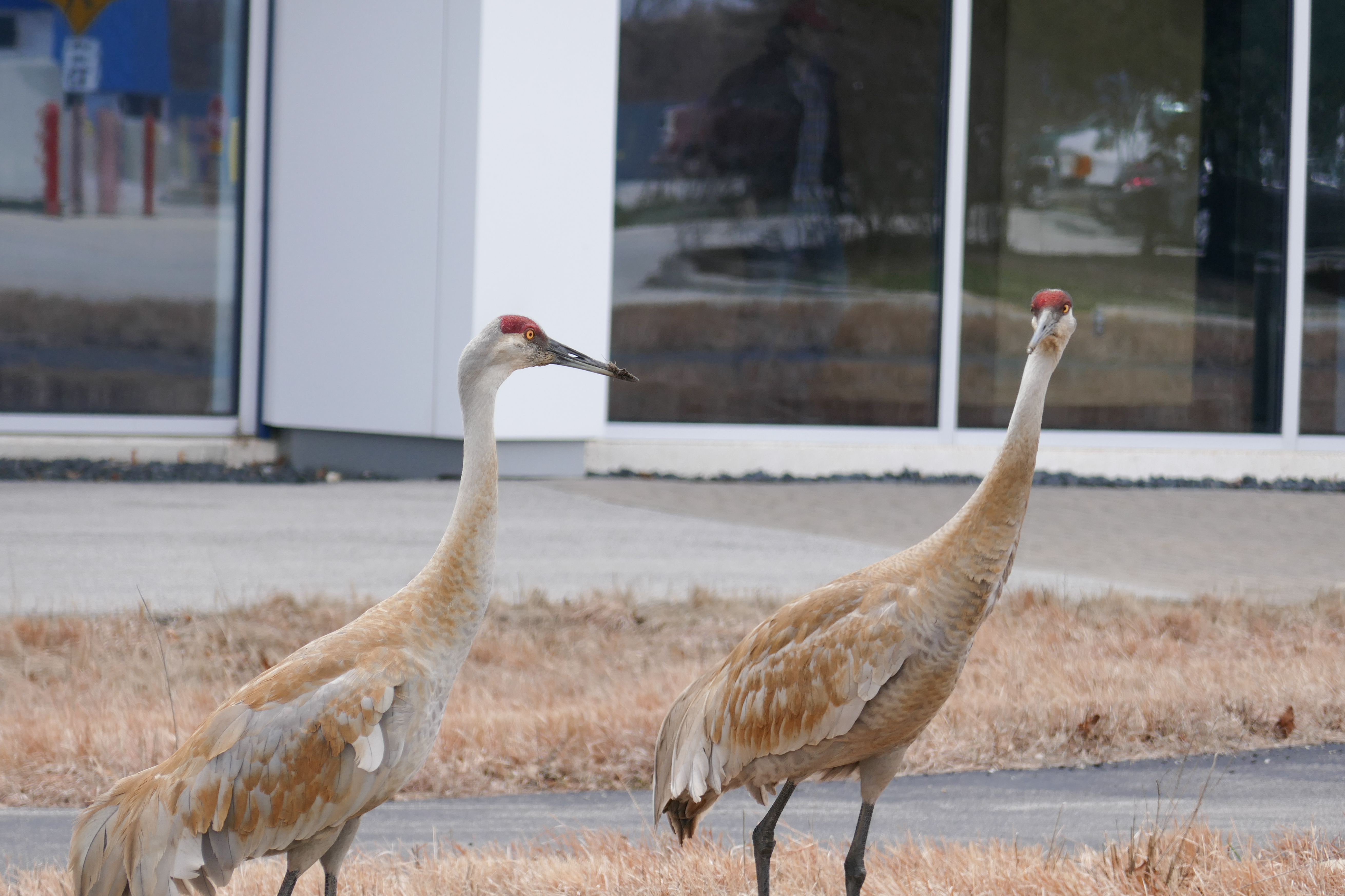 (1/2) Sandhill cranes were spotted over by the IARC building Thursday, April 5. Photo: Leticia Shaddix, nature, wildlife, animal, bird, sandhill crane