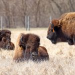 Bison sun themselves in the pasture on April 18. Photo: Gordon Garcia, nature, wildlife, bison, mammal, animal