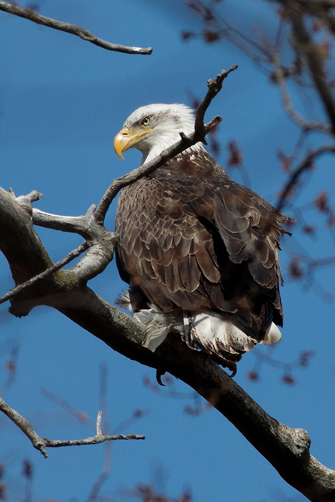 (3/3) An eagle sits proudly by the Main Ring. Photo: Gene Oleynik, nature, wildlife, animal, bird, eagle