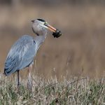 (1/3) By the Main Injector, a great blue heron captures its prey. Photo: Gene Oleynik, nature, wildlife, animal, bird, reptile, heron, great blue heron, snake