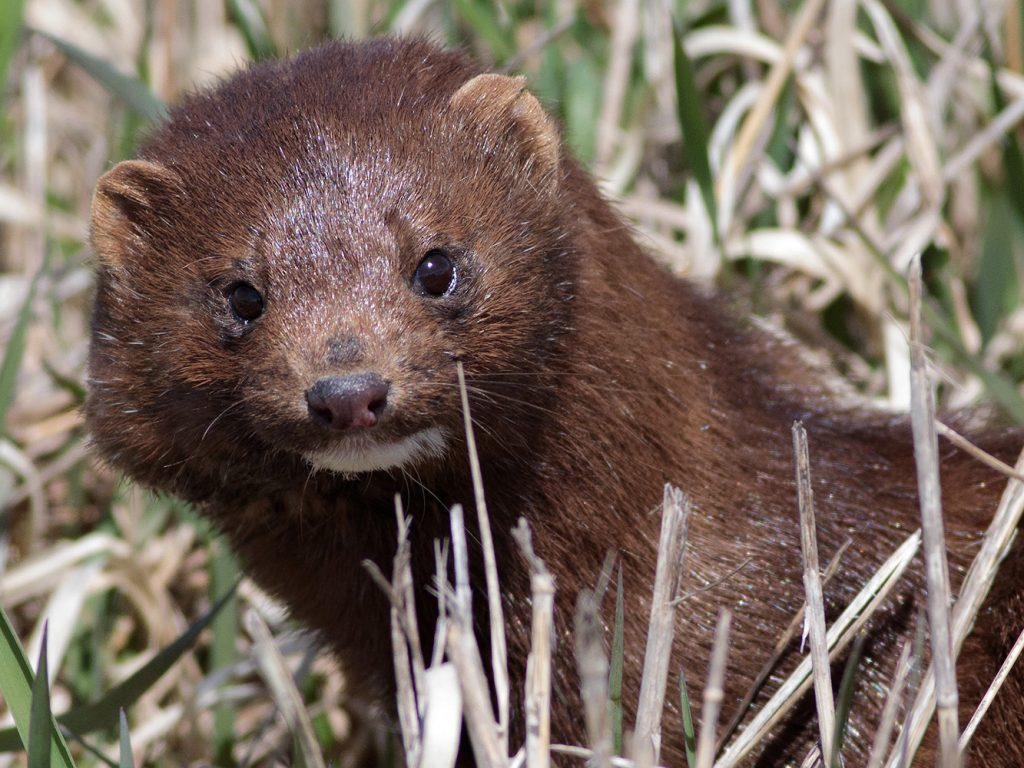 (2/3) A mink by the Main Ring catches the eye of the photographer. Photo: Gene Oleynik, wildlife, mammal, animal, mink, nature